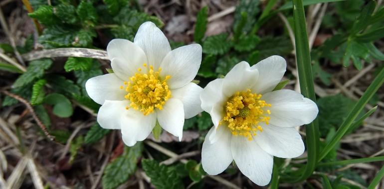 Bele rožice